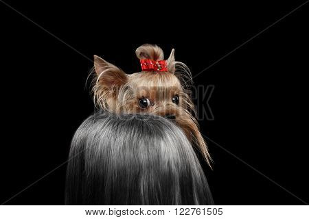 Closeup Yorkshire Terrier Dog with long groomed Hair Shy Looking back Isolated on black background