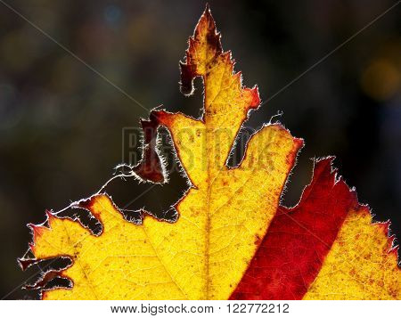 colorful autumn leaves, yellow and red work sunlit