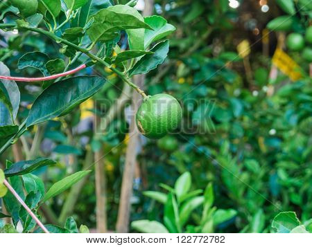 Fresh Limes Fruit Hanging On A Tree
