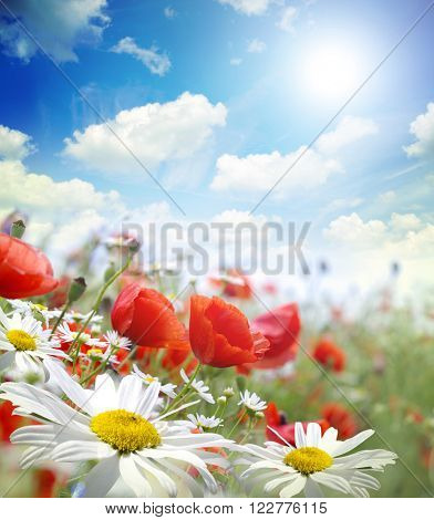 Red poppies,chamomile on green field