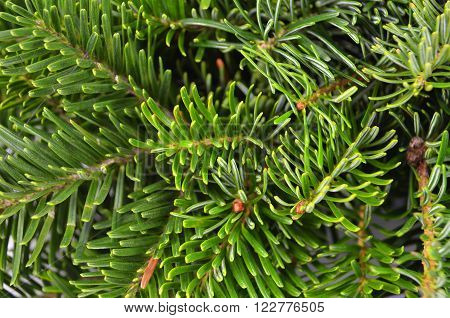 Close up of green fir tree branch