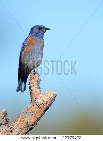 Western Bluebird with Blue Sky Background, Oregon, USA