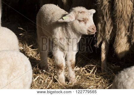 Lamb standing and eating hay in a stable