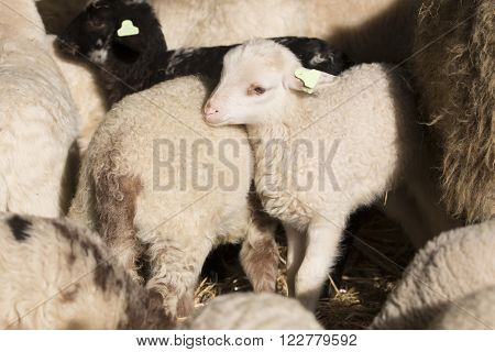 White lamb standing between other lambs in stable