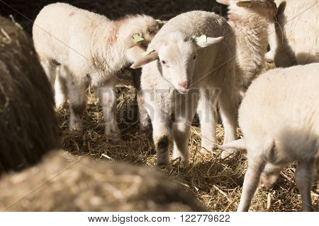 White lambs standing in a stable together