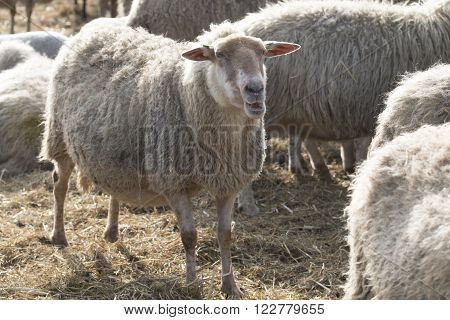 White sheep standing with other sheep outside