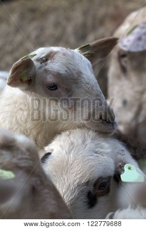 Headshot of a lamb, leaning on another lamb