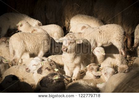 Flock of lambs and sheep in sunlight