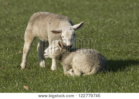Two lambs together on pasture green grass