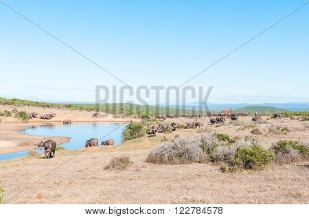 A herd of African Buffalo and a solitary Elephant at Gwarrie Pan in the Addo Elephant National Park of South Africa