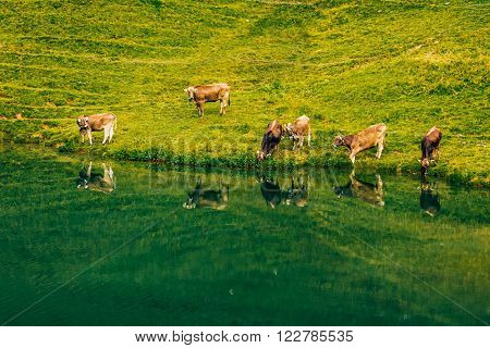 cows in the alps at allgaeu mountainlake