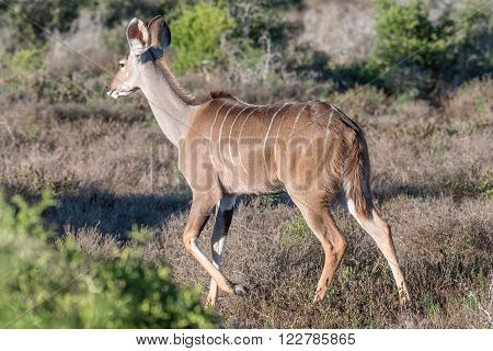 A kudu cow in the Addo Elephant National Park of South Africa