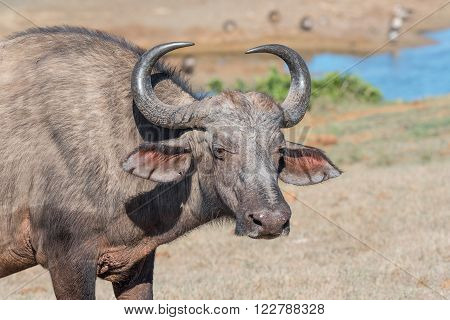 An African Buffalo cow at Gwarrie Pan in the Addo Elephant National Park of South Africa