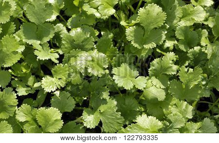 Fresh Coriander leaves growing, coriandrum sativum also called pak chee cilantro and chinese parsley.