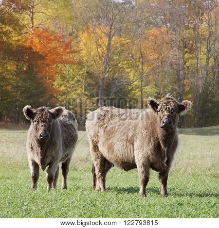 Square image of a Galloway cow and calf out grazing on a beautiful autumn day.