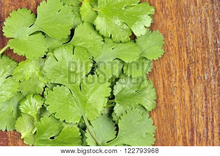 Fresh Coriander leaves coriandrum sativum also called pak chee cilantro and chinese parsley.