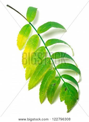 Multicolor rowan leaf isolated on white background
