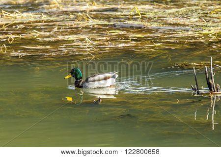 Mallard in wetland in fernan Lake in Idaho.