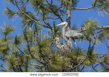 Heron watches other build nest. One heron stands by while the other places the stick in the nest near Fernan, Idaho.