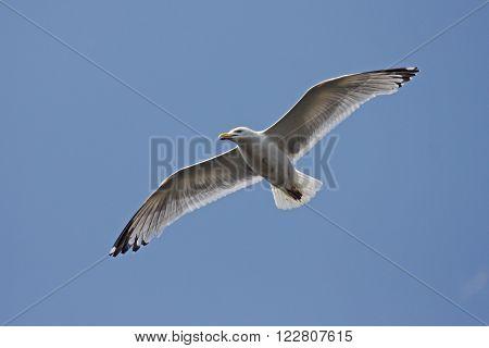 Herring Gull flying in a blue sky