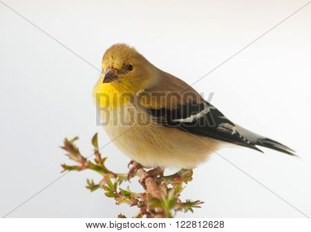 Male American Goldfinch in winter plumage, sitting on a rose branch with a snowy background