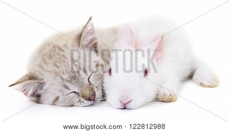Grey kitten playing with white rabbit on white background.