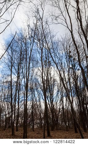 Leafless forest in a cloudy day in early spring.
