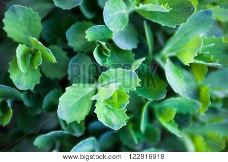 Young fleshy green leaves of Sedum (stonecrop). Close up.
