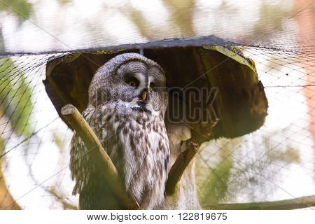 Beatiful Great Grey Owl (strix Nebulosa)