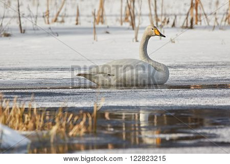 Whooper swan (Cygnus Cycnus) resting on the ice of a frozen lake in Finland in winter. Reflection of the swan in the water.