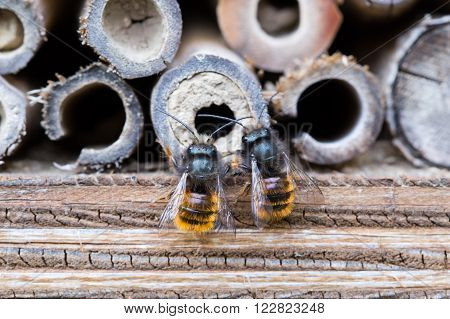 Osmia Cornuta a specie of solitary bees on a wooden nesting site.