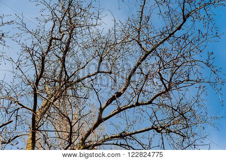 Brunch Of Tree In Dry Season, Background Is Blue Sky.
