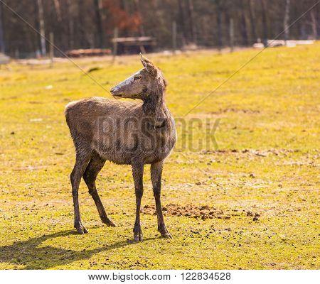 Chinese Deer - David's Deer