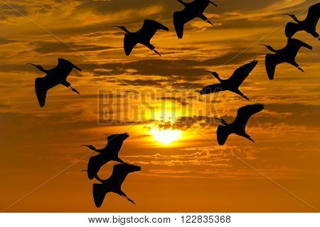 Bird migration silhouette is a flock of birds flying during the migrating season silhouetted against an orange sunset sky.