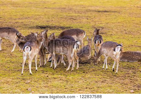 Fallow-deers flock photographed in animal park. Herd of deers does.