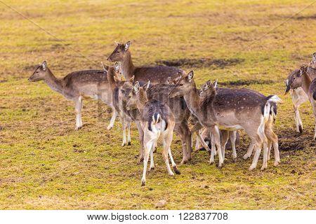 Fallow-deers Flock