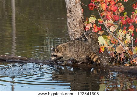 Two Raccoons (Procyon lotor) on Log with Splash - captive animals