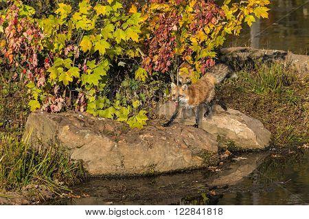 Red Fox (Vulpes vulpes) Running Shoreline - captive animal
