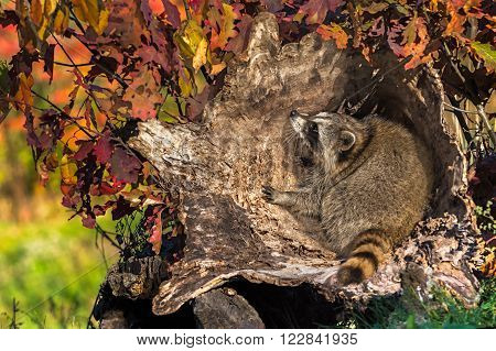 Raccoon (Procyon lotor) Crouches in Log - captive animal