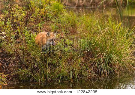 Red Fox (Vulpes vulpes) Licks Nose - captive animal