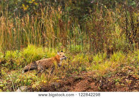 Red Fox (Vulpes vulpes) Runs Right Through Grasses - captive animal