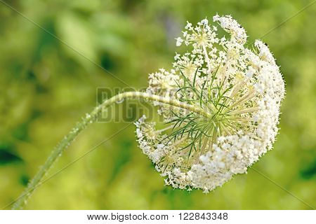 Wild Queen Anne's lace flower against a blurred foliage background.