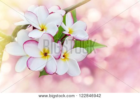 Sweet and romantic dreamy colour bunch of pink  frangrant flowers plumeria or frangipani on bokeh background with copy space