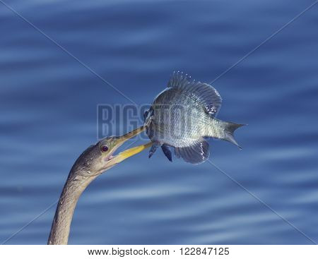 Anhinga (Anhinga anhinga) With a Fish in its Beak