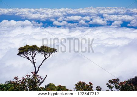 Ranau Sabah Malaysia-March 12,2016:Twisted alpine trees growing at high altitude from Timpohon trail to Laban Rata on way to Mount Kinabalu. Mount Kinabalu is the highest mountain in Southeast Asia