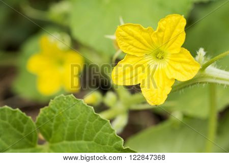 Bright yellow melon flower in front of flower blur