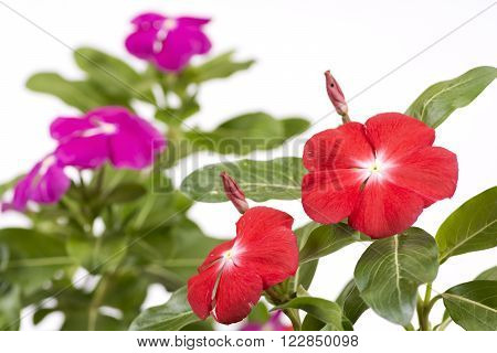 Vivid pink madagascar periwinkle flowers in front of pink flowers