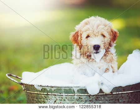 Adorable Cute Pupppy. Goldern Retriever Puppy taking a Bubble Bath