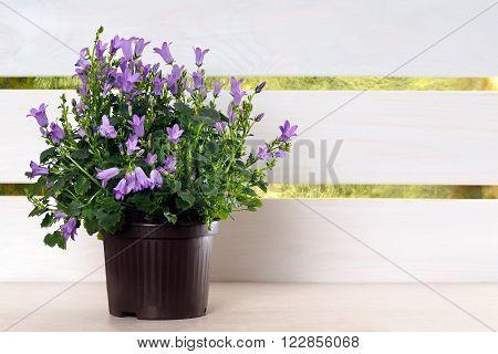Decorative white shelf with a potted plant Campanula portenschlagiana. Plant flowers - blue flowers campanula