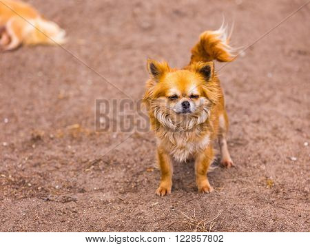 Long Haired Chiwawa Dog